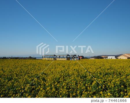 美しい菜の花畑の中を走るトロッコバス 74461666