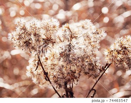 秋、光に透けるふわふわの種(キク科・ゴマナ) 74463547