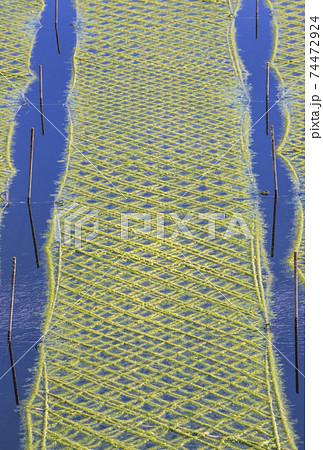 あおさ海苔養殖 アオサノリと海 海苔畑の風景 74472924