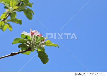 ニュートンのリンゴの蕾と花と青空 74474336