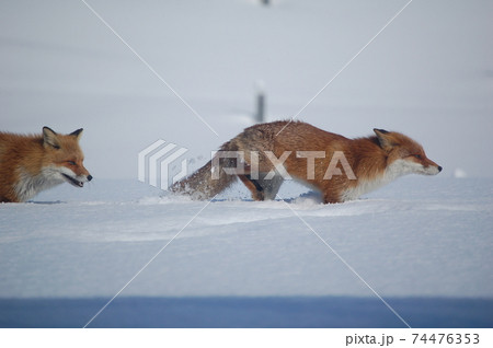 メスを雪の上で追いかけるキタキツネ 74476353