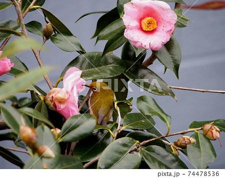 サザンカの花の中を覗き込むメジロ 74478536