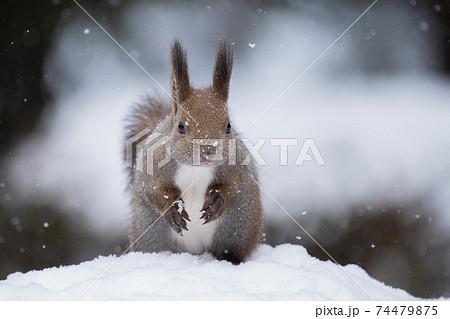 雪の中でポーズをとるエゾリス 74479875