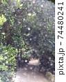 沖縄県本部町パワースポット巡りで有名なフクギ並木の木漏れ日 74480241