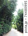 沖縄県本部町備瀬パワースポットフクギ並木道で散歩 74480995