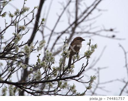 白梅の枝にとまったモズ 74481757