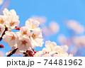 左下に桜と青空(コピースペースあり) 74481962