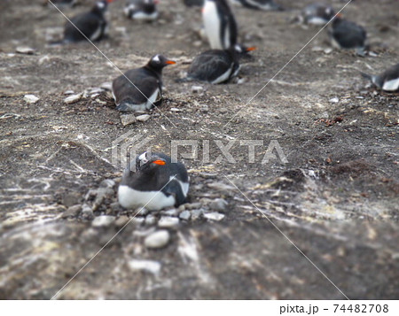 フォークランド諸島 ジェンツーペンギン ジオラマ風 74482708