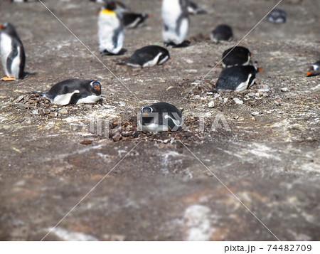フォークランド諸島 ジェンツーペンギン ジオラマ風 74482709