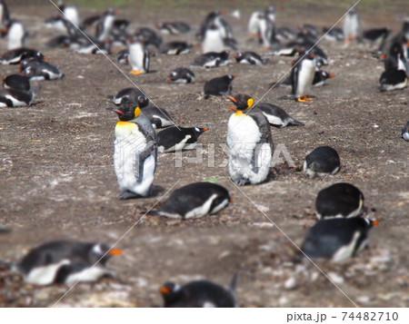 フォークランド諸島 キングペンギンとジェンツーペンギン ジオラマ風 74482710