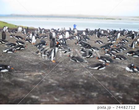 フォークランド諸島 ジェンツーペンギン ジオラマ風 74482712
