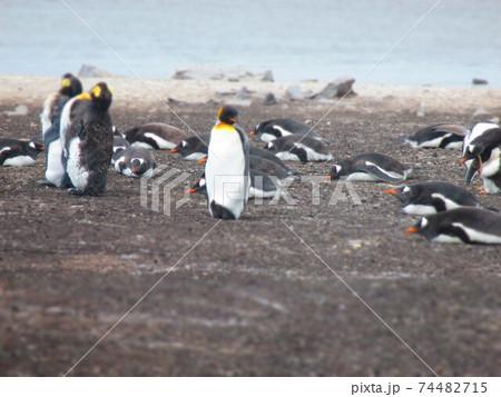 フォークランド諸島 キングペンギンとジェンツーペンギン ジオラマ風 74482715