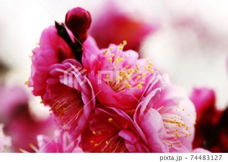 早春の天満宮に咲くピンクの梅の花 74483127