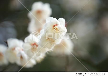 梅の花 枝ぶりの綺麗なところを望遠レンズでクローズアップ 74485834
