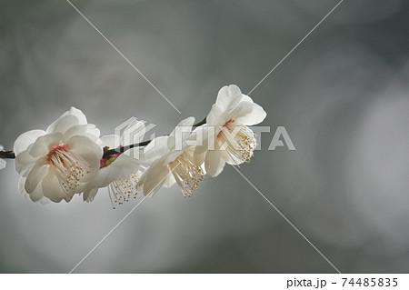 梅の花 陽ざしを浴びる枝先をクローズアップ 74485835
