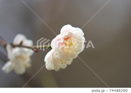 梅の花 綺麗に咲いた枝先をクローズアップ 74486260