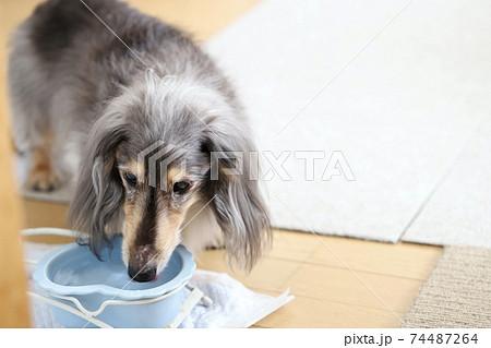 水を飲む犬 ミニチュアダックス 74487264