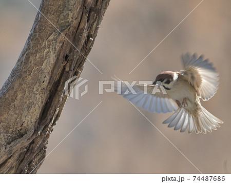 木に泊まろうとして羽を広げて飛んできた雀の空中写真 74487686