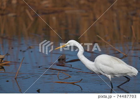 魚や沼エビを追いかけて歩く歩く白い大鷺 74487703