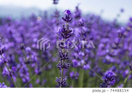 高原に咲くラベンダーの花のアップ 74488154