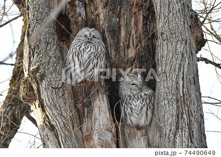 厳冬の昼間、大樹の洞で休む二羽のフクロウ 74490649