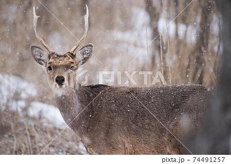 雪降る中の若牡鹿 74491257