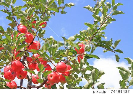 赤く色づいた収穫前のリンゴ 74491487