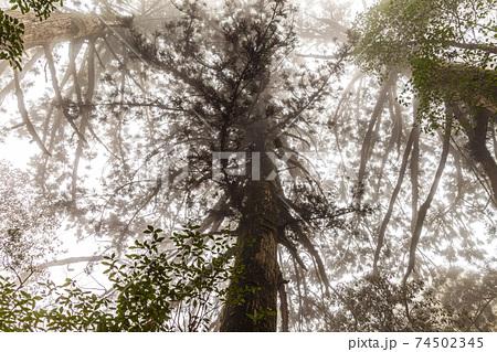 屋久島白谷雲水峡。霧に映える屋久杉の森 74502345