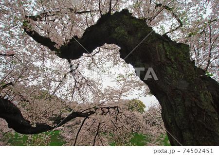 優雅な枝ぶりの千鳥ヶ淵公園の桜:東京都千代田区 74502451
