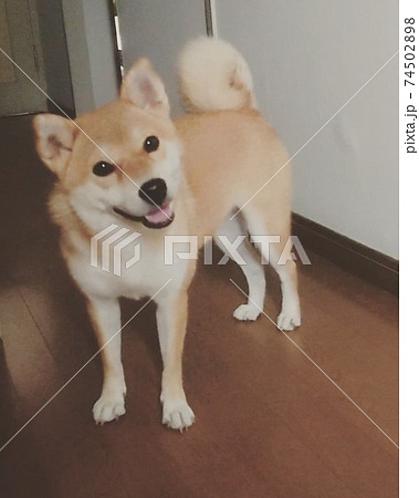 家族が出かける時はいつも笑顔でお見送りしてくれる柴犬 74502898