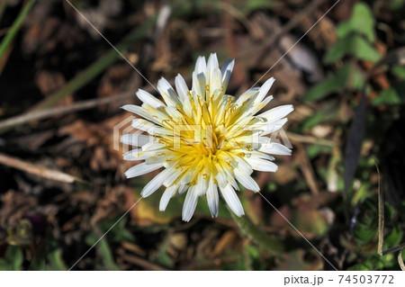 冬の日差しを浴びて咲く満開のタンポポの花 74503772