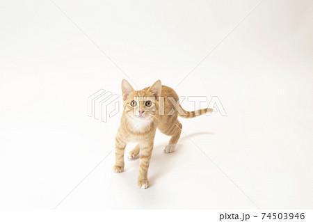 白バックの真ん中でカメラを見る茶トラの子猫のビッケ 74503946