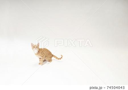 白バック左で尻尾を上げる茶トラの子猫のビッケ 74504043