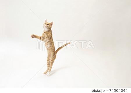 白バックでジャンプした茶トラの子猫のビッケ 74504044