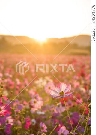 朝日をバックに花畑の薄いピンクのコスモスの花 74508776
