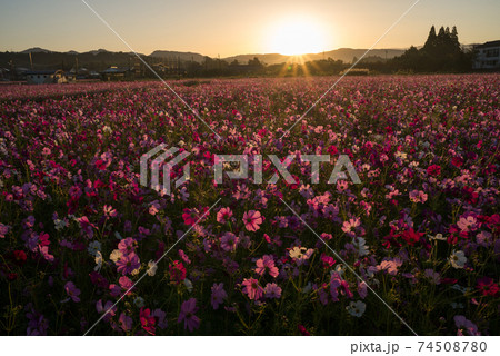 朝日をバックにコスモスのお花畑 74508780