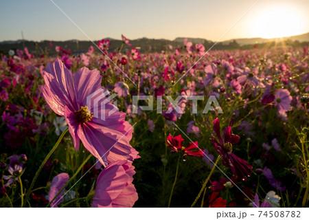 朝日をバックに花畑のピンクのコスモスの花のアップ 74508782