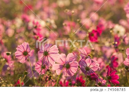 水滴のキラキラをバックに早朝のピンクのコスモス畑 74508785