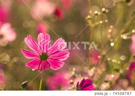 水滴のキラキラをバックに早朝の濃いピンクのコスモスの花の後ろ姿 74508787