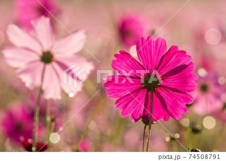 水滴のキラキラをバックに濃いピンクのコスモスの花の後ろ姿 74508791