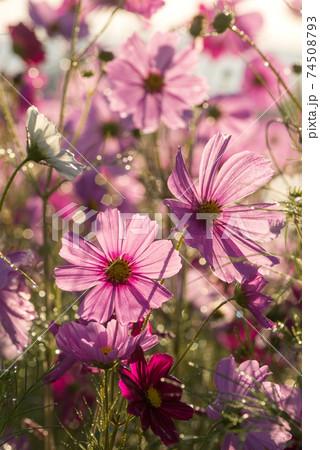水滴のキラキラをバックに花畑の中のピンクのコスモスの花 74508793