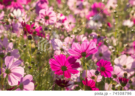 水滴のキラキラをバックに花畑の中の濃いピンクのコスモスの花の後姿 74508796