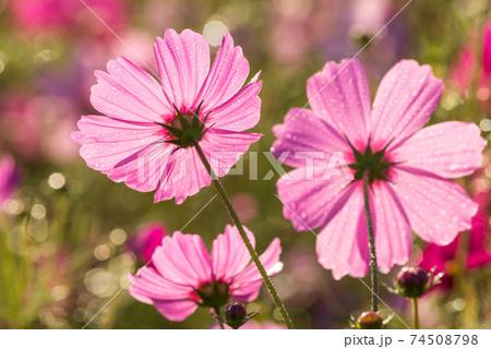 水滴のキラキラをバックにピンクのコスモスの花の後ろ姿 74508798