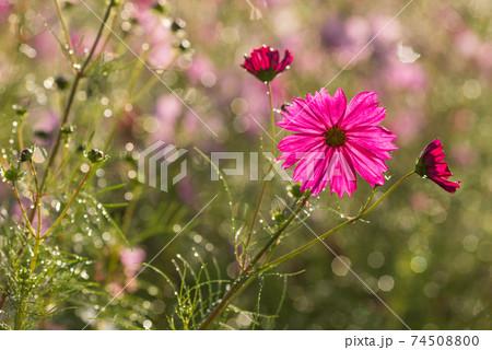 水滴のキラキラをバックに早朝の濃いピンクのコスモスの花 74508800