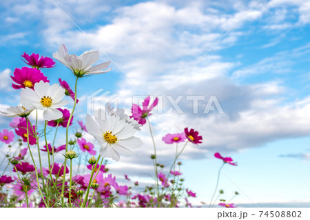 空の下の白とピンクのコスモスの花 74508802