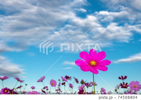 雲の浮かぶ青空の下の濃いピンクのコスモスの花 74508804
