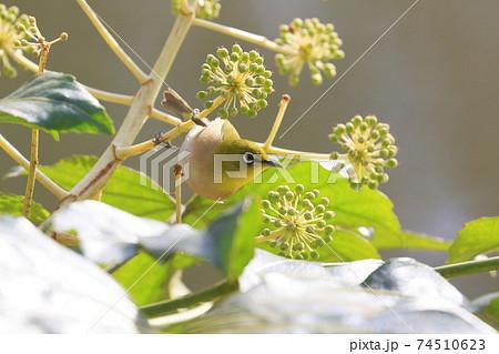 花の蜜を吸うメジロ 野鳥 メジロ めじろ 目白 74510623