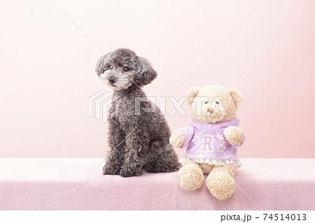 お座りした黒いトイプードルと熊のぬいぐるみ 74514013