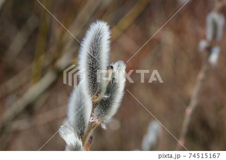 ネコヤナギの綿毛(花序)、早春に咲く花木 74515167
