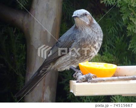 餌台にミカンを食べに来たヒヨドリ 74515667
